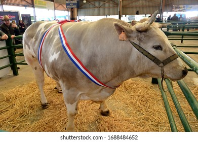 Forges les Eaux, Seine-Maritime, France, April 2019. Traditional Easter Agricultural Concours of Slaughter animals. Winner is a cross bred beef. Tri-colour ribbon encircling the cow