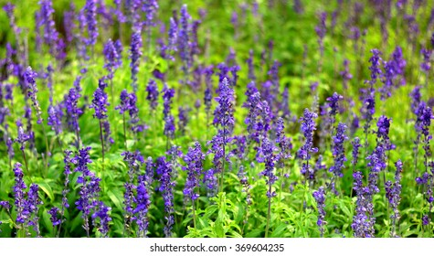 Forget me not flower purple