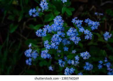 Forget Me Not Flowers Myosotis