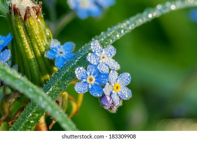forget me not flowers on a summer meadow in dew drops