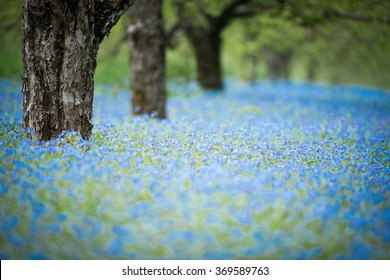 forget me not flowers in an orchard