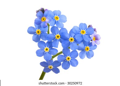Forget me not, little flowers in heart shape, isolated on white.