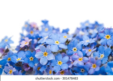 forget-me-flower on a white background
