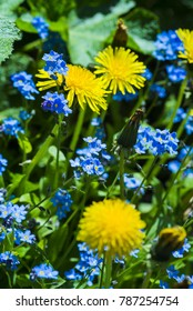Forget-me-not with dandelion blossom
