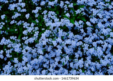 Forget-Me-Not flower or Myosotis or Scorpion Grasses blooming in Kiso Valley, Nagano, Japan in the summer.