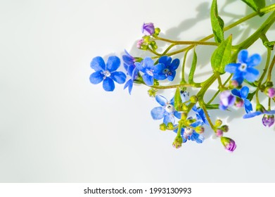 forget-me-not flower. Myosotis The small blue forget-me-not flower was first used by the Grand Lodge of Zur Sonne in 1926 as a Masonic emblem at the annual convention in Bremen, Germany