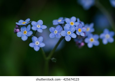 Forget-me-not flowers background.