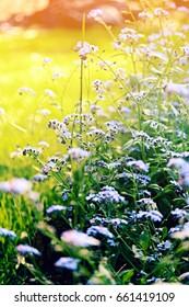 Forget-Me-Not Flowers in Garden
