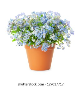 Forget-me-not flowers in pot isolated  isolated on white background