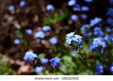 Forget-me-not flowers in selective focus against dots of blue petals in the flower bed beyond