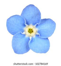 Forget-me-not Light Blue Flower Isolated on White Background. Myosotis arvensis Macro