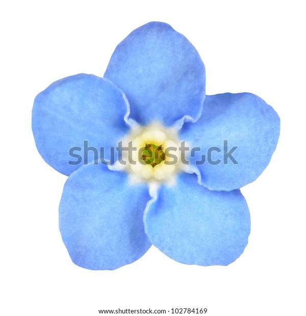 Fiori Non Ti Scordar Di Me.Foto Stock 102784169 A Tema Fiore Azzurro Non Ti Scordar Di