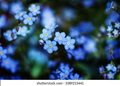 Forget-me-not (Myosotis) flowers blooming