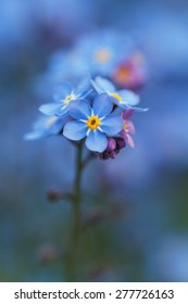 Forgetmenot , Myosotis flowers, macro very shallow depth of field.