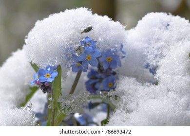 Forget-me-not (Myosotis) in  the snow – spring flowers in winter