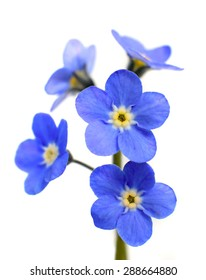 Forget-me-not Victoria Blue Flower Isolated on White Background