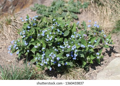forget-me-notflower in bloom