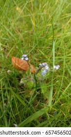 Forget-me-nots amongst grass with brown, dead leaf