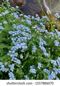 Forget-me-nots in summer in Duluth, Minnesota