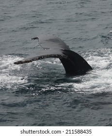 A forked tail is typical of Humpback whales, like this one that is diving