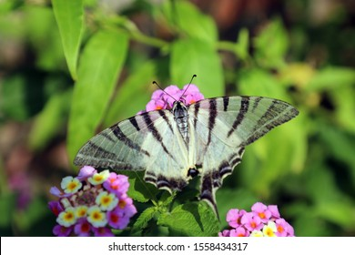 fork-tailed butterfly with zebra pattern