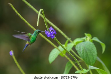Fork-tailed Emerald - Chlorostilbon canivetii, beautiful green hummingbird from Central America forests, Costa Rica.