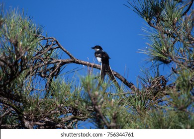 Fork-tailed Flycatcher perched on a branch seen from behind.