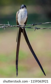 Fork-tailed Flycatcher perched on wire