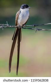 Fork-tailed Flycatcher portrait