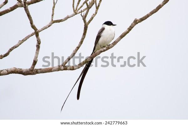 A fork-tailed flycatcher (Tyrannus savana) perched in Toledo, Belize.