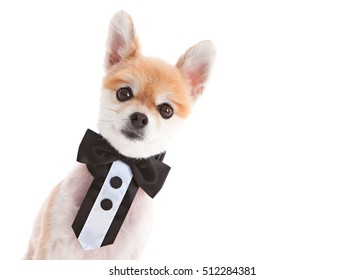 Formal Pom.  Adorable Pomeranian wearing a bow tie. Isolated on white.