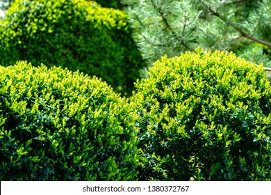 Formed trimmed bushes of old boxwood Buxus sempervirens, which has been growing in garden for over 60 years, with young bright greens. Selective focus