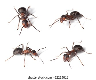 Formica ants isolated on white background