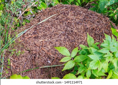 Formica rufa, red wood ant, southern wood ant, or horse ant, is boreal member of Formica rufa group of ants. Formica rufa nest in forest