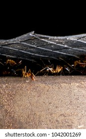 Formicidae,Winged ants,Camponotus pennsylvanicus ,Hymenoptera