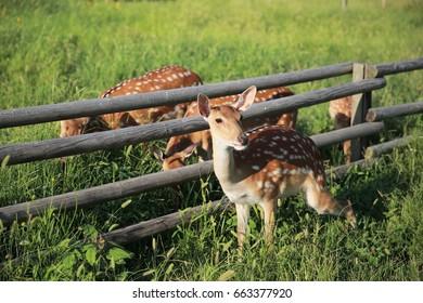 Formosan deer