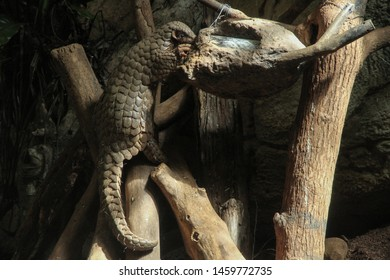 Formosan Pangolin eating the food.