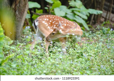 Formosan Sika Deer (Cervus nippon taiouanus) is Taiwan's endemic deer, with a remarkable story: after its extinction in the wild, captured ones in zoo were successfully used for its bio-remediation.