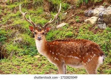 Formosan sika deer in Island of Mazu, Taiwan