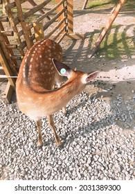 A Formosan Sika Deer looking back.