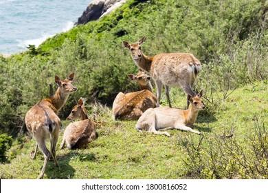 Formosan sika deer in the Matsu Island of Taiwan