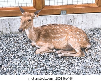 A Formosan Sika Deer resting on the ground.