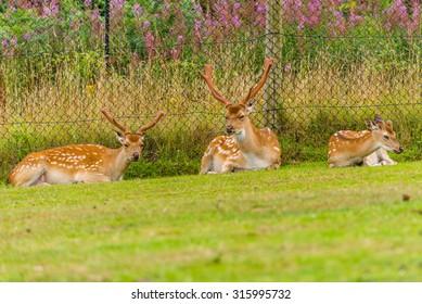 Formosan sika deer in West Midlands Safari Park, England, UK.