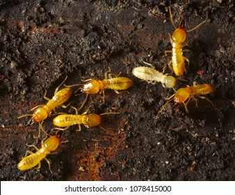 "Formosan-termit ""Coptotermes formosanus"" invasive termite, nicknamed the super-termite because of its destructive habits"