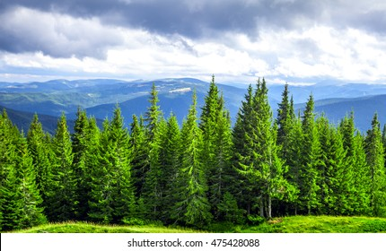 Forrest of green pine trees in mountains