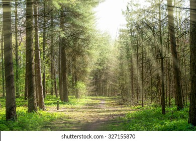 Forrest trees with path in the middle and spread sun rays