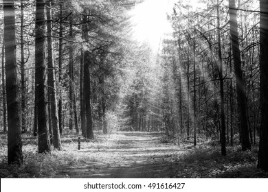 Forrest trees with path in the middle and spread sun rays in black and white