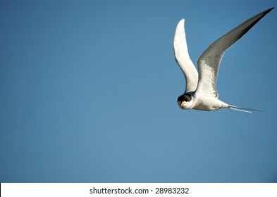 Forster's Tern flying above beach at Chincoteague National Wildlife Refuge, Virginia