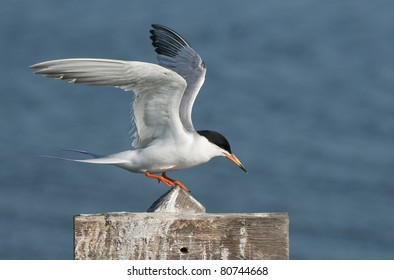 Forster's Tern on sign