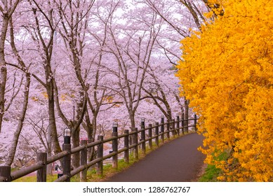 Forsythia field pathway with the Cherry Blossom tree background in Funaoka Castle Ruin Park, Miyagi prefecture, Japan